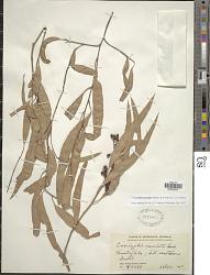 Corymbia maculata (Hook.) K.D. Hill & L.A.S. Johnson