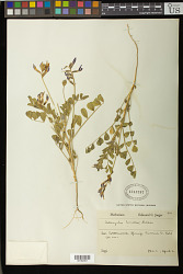Astragalus limatus E. Sheld.