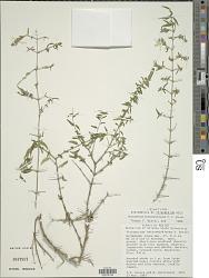 Tetramerium butterwickianum T.F. Daniel