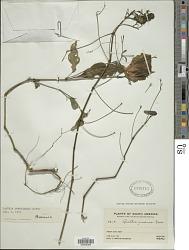 Ruellia brevifolia (Pohl) C. Ezcurra