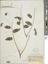 Amburana acreana (Ducke) A.C. Sm.