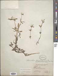 Alternanthera polygonoides (L.) Aiton ex Sweet