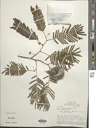 Enterolobium schomburgkii (Benth.) Benth.
