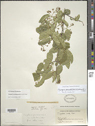 Mascagnia paniculata (Mill.) W.R. Anderson & C. Davis