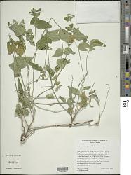 Justicia austrocapensis T.F. Daniel