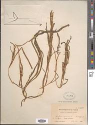 Zostera marina var. typica L.
