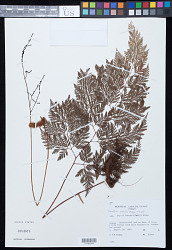 Wibelia embolostegia (Colla) M. Kato & Tsutsumi
