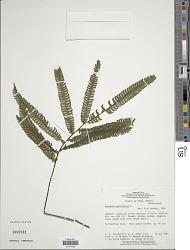Adiantum pulverulentum L.