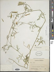 Vicia pulchella subsp. mexicana (Hemsl.) C.R.Gunn
