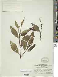 Varronia curassavica Jacq.