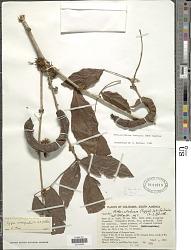 Zygia inaequalis (Willd.) Pittier