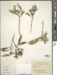 Tristaniopsis laurina (Sm.) Peter G. Wilson & J. T. Waterh.