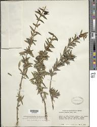 Isidorea pedicellaris Urb. & Ekman