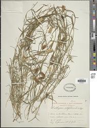 Lathyrus setifolius L.