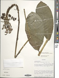 Centropogon granulosus subsp. lugens B.A. Stein