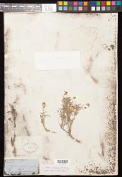 Zinnia acerosa (DC.) A. Gray