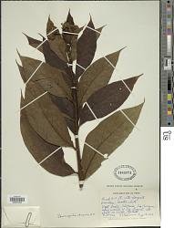 Tournefortia cuspidata Kunth
