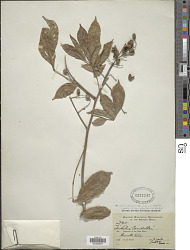 Trichilia elegans A. Juss.
