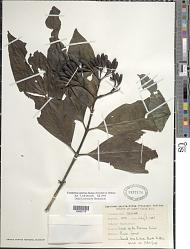 Exostema sanctae-luciae (Kentish) Britten