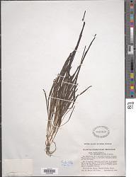 Zostera marina var. stenophylla (Raf.) Asch. & Graebn.