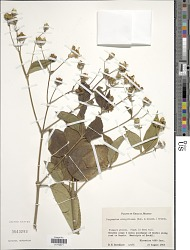 Perymenium strigillosum