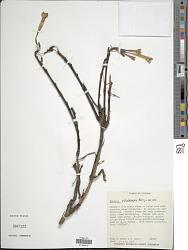 Fuchsia pilaloensis P.E. Berry