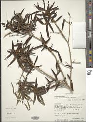 Ludia dracaenoides H. Perrier
