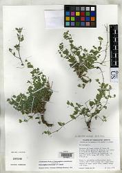 Carlowrightia trichocarpa T.F. Daniel