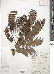 Zanthoxylum rhoifolium Lam.