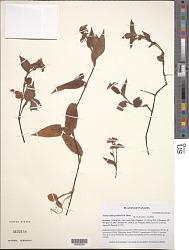 Tinantia poelliae D.R. Hunt