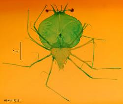 Scyllarus sp.