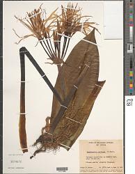 Hymenocallis caribaea (L.) Herb.