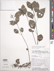 Pilea pubescens Liebm.
