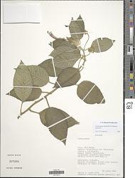 Centropogon glabrifilis (E. Wimm.) Jeppesen