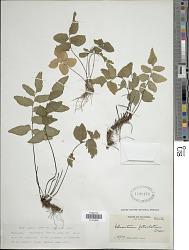 Adiantum petiolatum Desv.