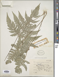 Polystichopsis pubescens (L.) C.V. Morton