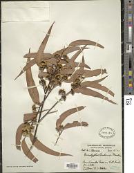 Eucalyptus andrewsii