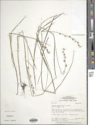 Scleria nutans Willd. ex Kunth