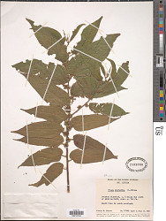 Trema micranthum (L.) Blume