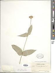 Zinnia elegans Jacq.