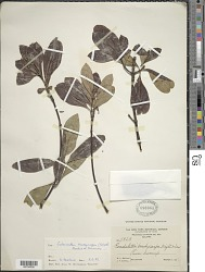 Suberanthus brachycarpus (Griseb.) Borhidi & Fernández