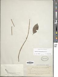 Psychotria obscurinervia Merr.
