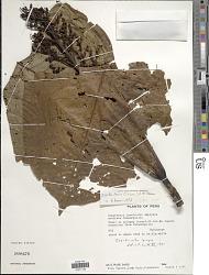 Isertia laevis (Triana) B.M. Boom