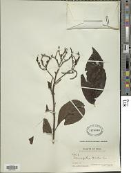 Tournefortia bicolor Sw.