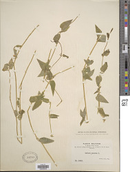Stellaria nemorum L.
