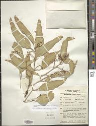 Corymbia dichromophloia (F. Muell.) K.D. Hill & L.A.S. Johnson