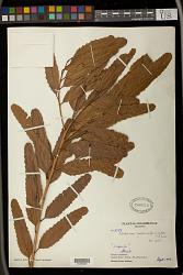 Alchornea castaneifolia (Willd.) A. Juss.