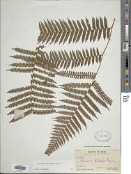 Cyathea lasiosora (Mett. ex Kuhn) Domin