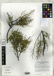 Mirandea huastecensis T.F. Daniel