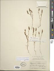 Polygonum polygaloides subsp. confertiflorum (Nutt. ex Piper) Hickman